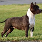 CH Old School Kennels Black Lady